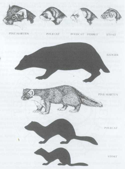 Relative Size of the Mustelidae Family